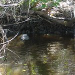 Alligator spotted during Mangrove Boat Tour - November 2014