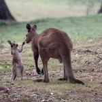 Kangaroos on the property
