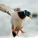 typical full plumage mallard drake...plentiful near wallaceburg