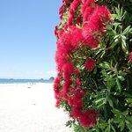 Hahei Beach - Pohutukawa flowers in bloom