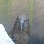 The rare Kea Mountain Parrot