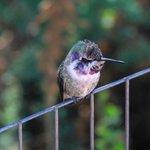 A lovely little Costa Hummingbird