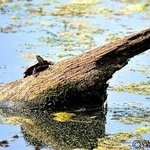 Turtles sunning themselves at Newport News Park