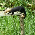 Tayra (land otter) stealing a banana