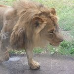 Lion walking right up to the glass.