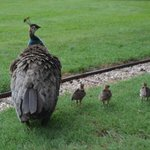 la famille Paon en promenade