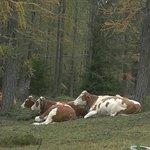 Mucche al pascolo al Passo delle Tre Croci sotto il Cristalli