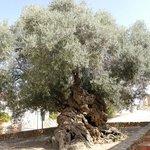 Olivenbaum bei Vouves
