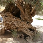 Olivenbaum Vouves innen hohl für Kinderabenteuer