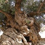 Olivenbaum 3500 Jahre alt