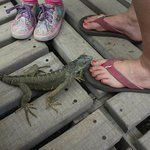 Iguanas of all ages and sizes