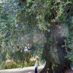 Visit to the largest Olive Tree in Europe on our Half Day Rome Olive Oil Tour