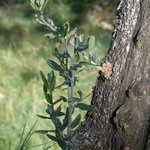 shoots on an olive oil tree