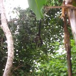A Monkey by our Patio!