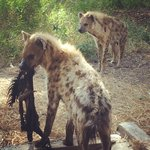 Hyenas have a nice new home,as do the monkeys.