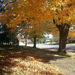 Beautiful Yellow Maple, October 31, 2014