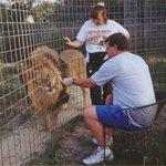 Feeding a lion by hand