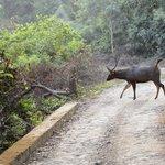 Sambhar deer crossing road in Jhirna