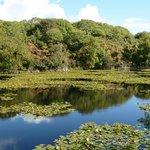 Lily Ponds at Stackpole, near Pembroke