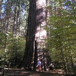 Giant Sequoias at Calaveras Big Trees State Park, 4 miles from resort.
