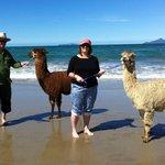 Walking the alpacas at Waipu