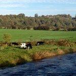 Cows grazing on the River Boyne