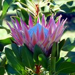 Proteas in Bloom at the Boschendal Winery Estate garden