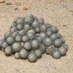 cactus borde costero desierto