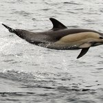 Spectacular common dolphins