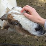 Bill the goat who stole my heart