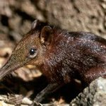 Elephant-Shrew in the forest