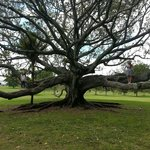 Huge tree in Cornwall park (One Tree Hill)