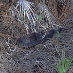 Watch your step, water moccasin sunning along the trail.