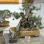 Экспонаты музея бонсай