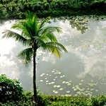 a pond surrounded by tea plants and many other trees. ideal for bird watching from your room.
