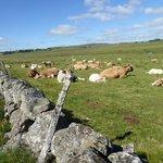 Les bovins dans les pâturages
