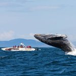 Breaching Humpback whale and Eagle Wing
