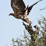 Twany Eagle taking off