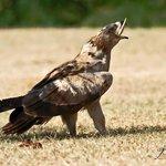 Twany Eagle eating Spiny-tailed lizard