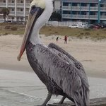 A pelican at Cure Beach