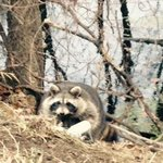 Raccoon with his paw caught in trap