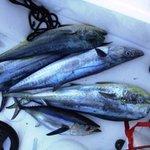 Big Mack attack - dolphin, blue fin tuna and king mackerel