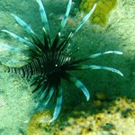 Lots of Lionfish in St Kitts