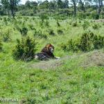 Lazing Lion