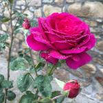 Roses beside the house.