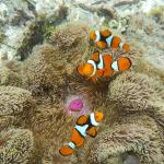 clown fish 10m from the beach