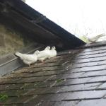 Doves, ducks & chickens add to the Old Mill experience
