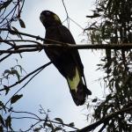 Black cockatoo in garden