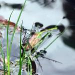 Dragonflies in love!