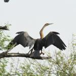ahinga séchant ses ailes  (zoom 150-600 mm avec doubleur de focale)